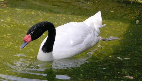 Largest water fowl in South America, the Black-Necked Swan