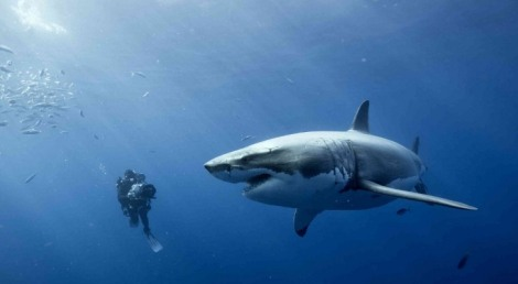 Liver-Fat-Oil-Keeps-Great-White-Sharks-Swimming-for-Thousands-of-Miles-2